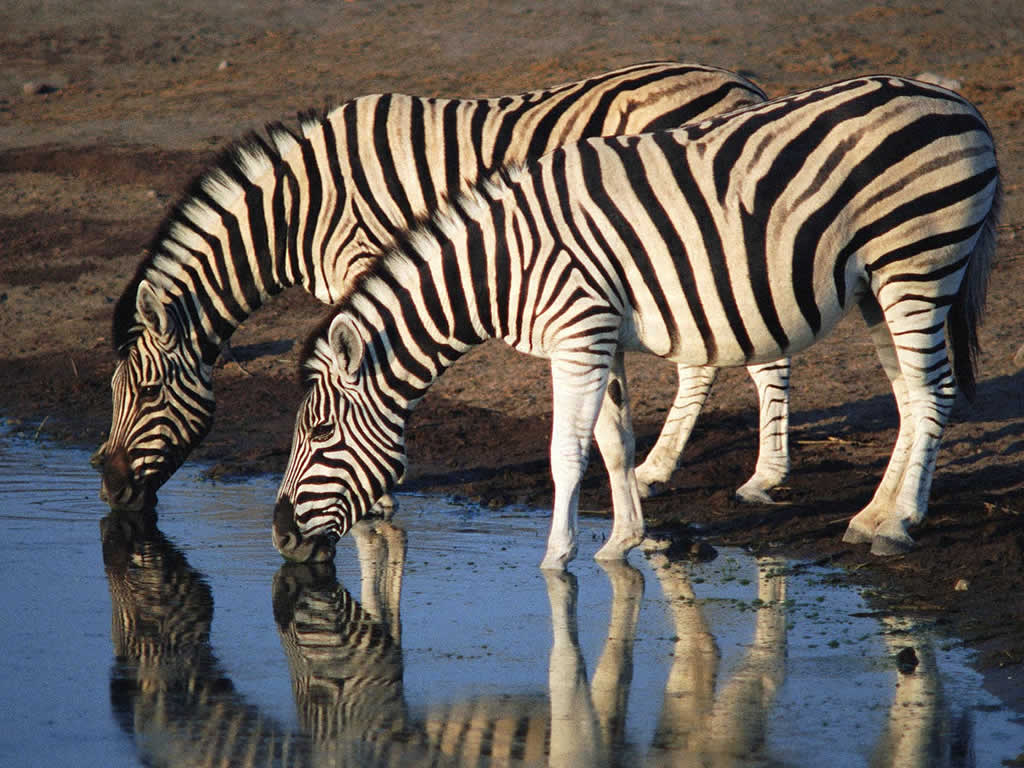 free downloading pics of zebra wikipedia